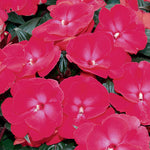 Infinity® Cherry Red New Guinea Impatiens