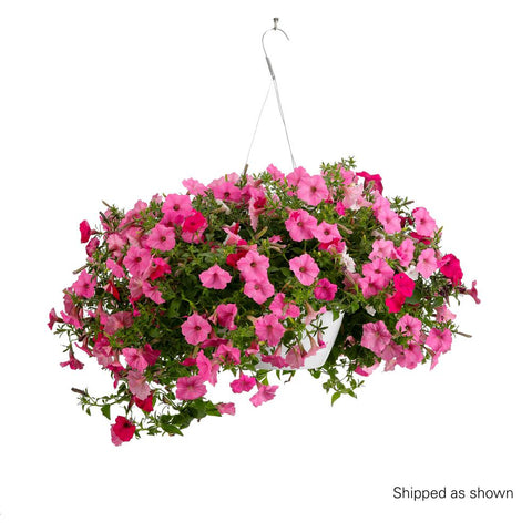 "Proven Winners Above and Beyond 11"" Hanging Basket"