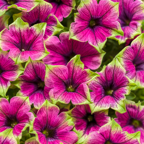 Supertunia® Picasso in Purple® Petunia hybrid
