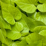 Proven Accents® Sweet Caroline Sweetheart Lime Sweet Potato Vine Ipomoea hybrid