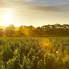 Sunset in the vineyard at Cape Mentelle