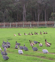 Guinea fowl in the Flinders Bay Wines vineyard