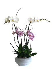 C4098 - Orchid Arrangement