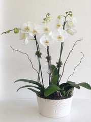 C6301 - Orchid Arrangement