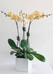 C6854 - Orchid Arrangement