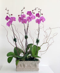C1815 - Live Orchid Arrangement