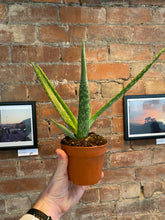 Load image into Gallery viewer, Aloe Vera (Click and collect/Leeds delivery only)