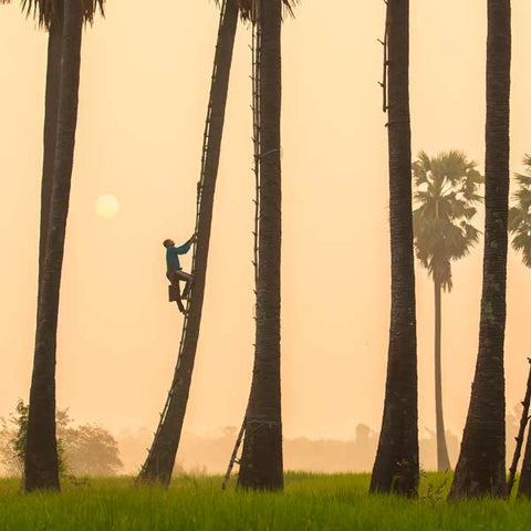 A man climbing up a coconut palm tree for making coconut sugar.