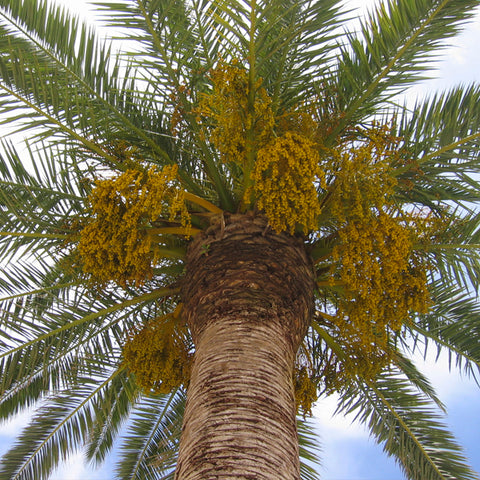 Coconut palm tree with coconut blossom, showing where coconut sugar comes from