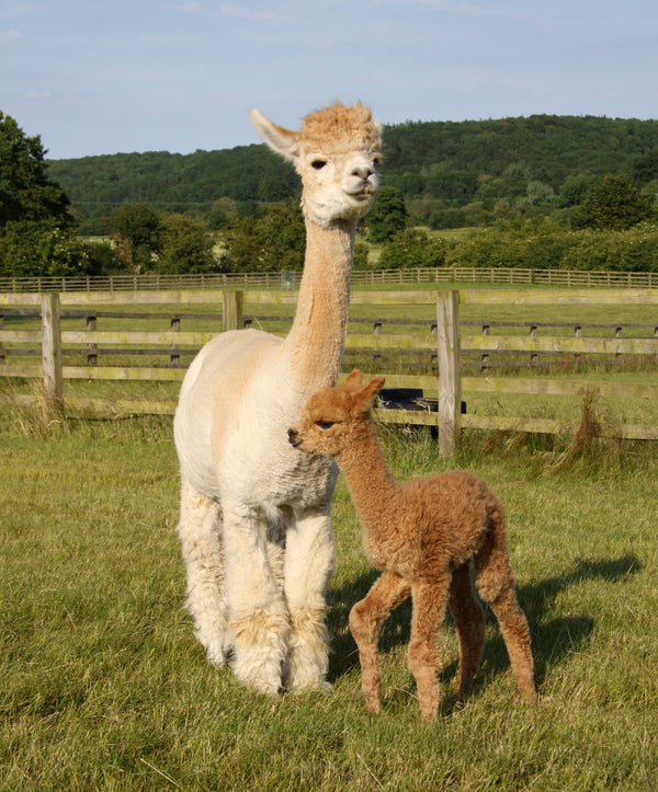 Why we believe in alpaca socks