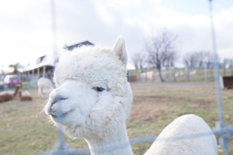 Softness of alpaca
