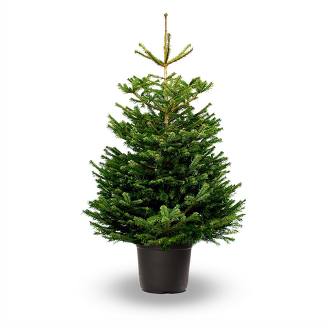 3ft Potted Nordman Fir Christmas Tree (Non-Drop)