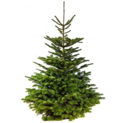 7-8ft Standard Christmas Tree
