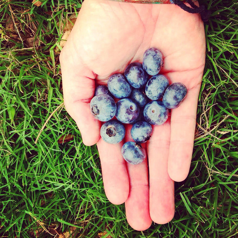 Pick a bucket of blueberries at Weeks Bay Plantation