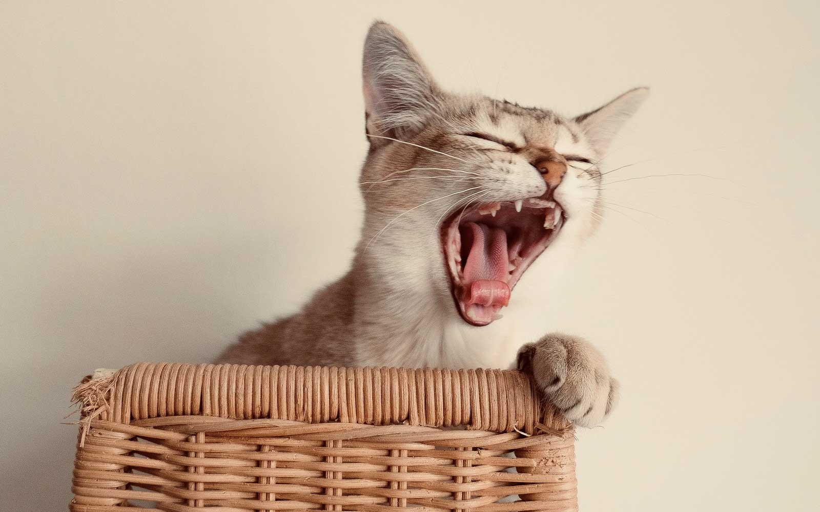 bored cat yawning in the house