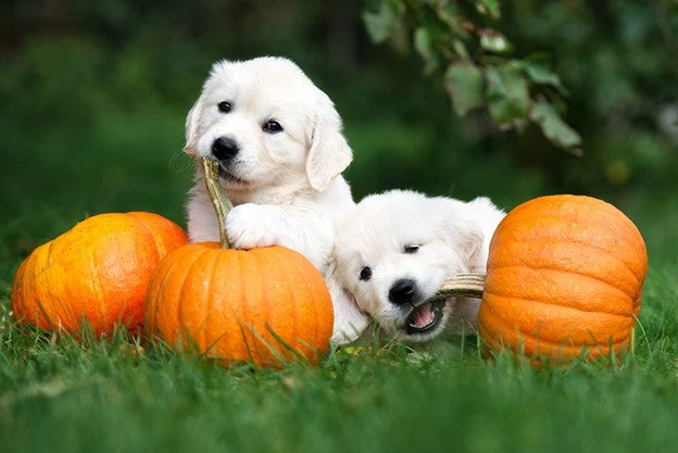 5 Benefits of Pumpkin and Cinnamon for Dogs