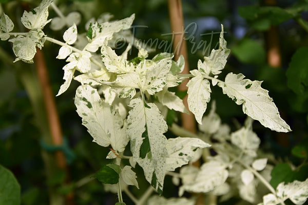 Variegated (A Splash of Cream)