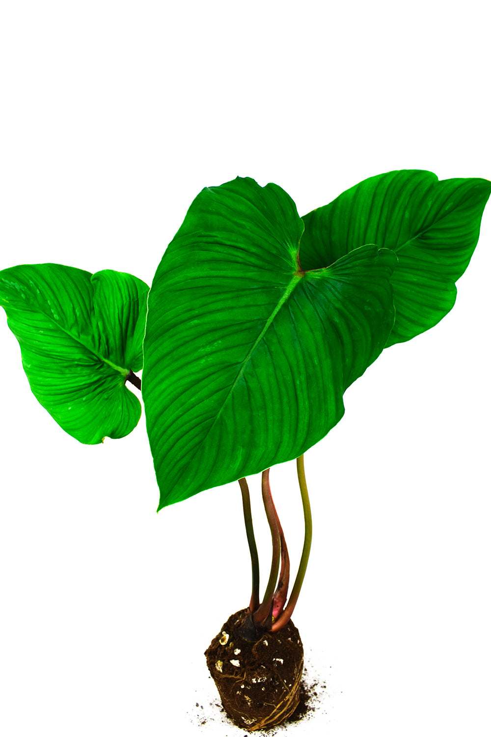 philodendron mamei tall rare aroid