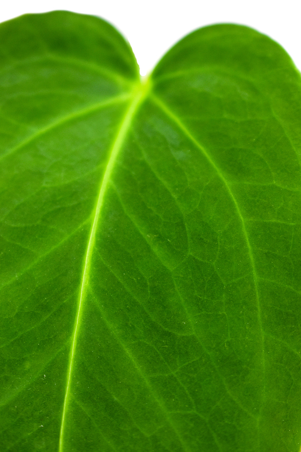 anthurium waterburyanum leaf close up