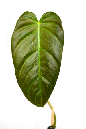 philodendron magnum