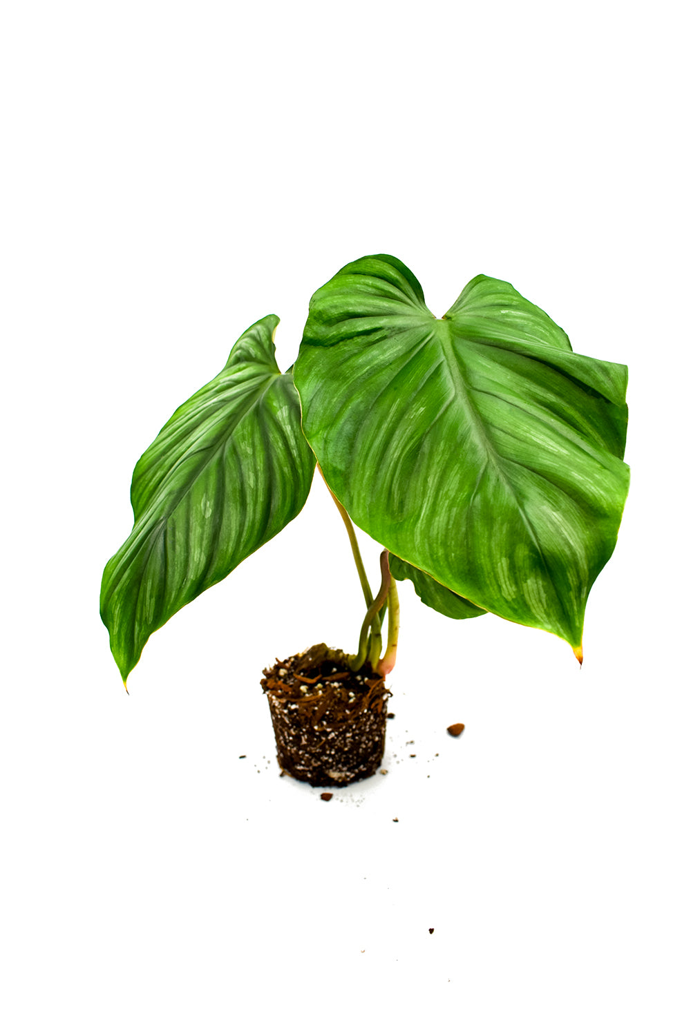 philodendron plowmanii black face