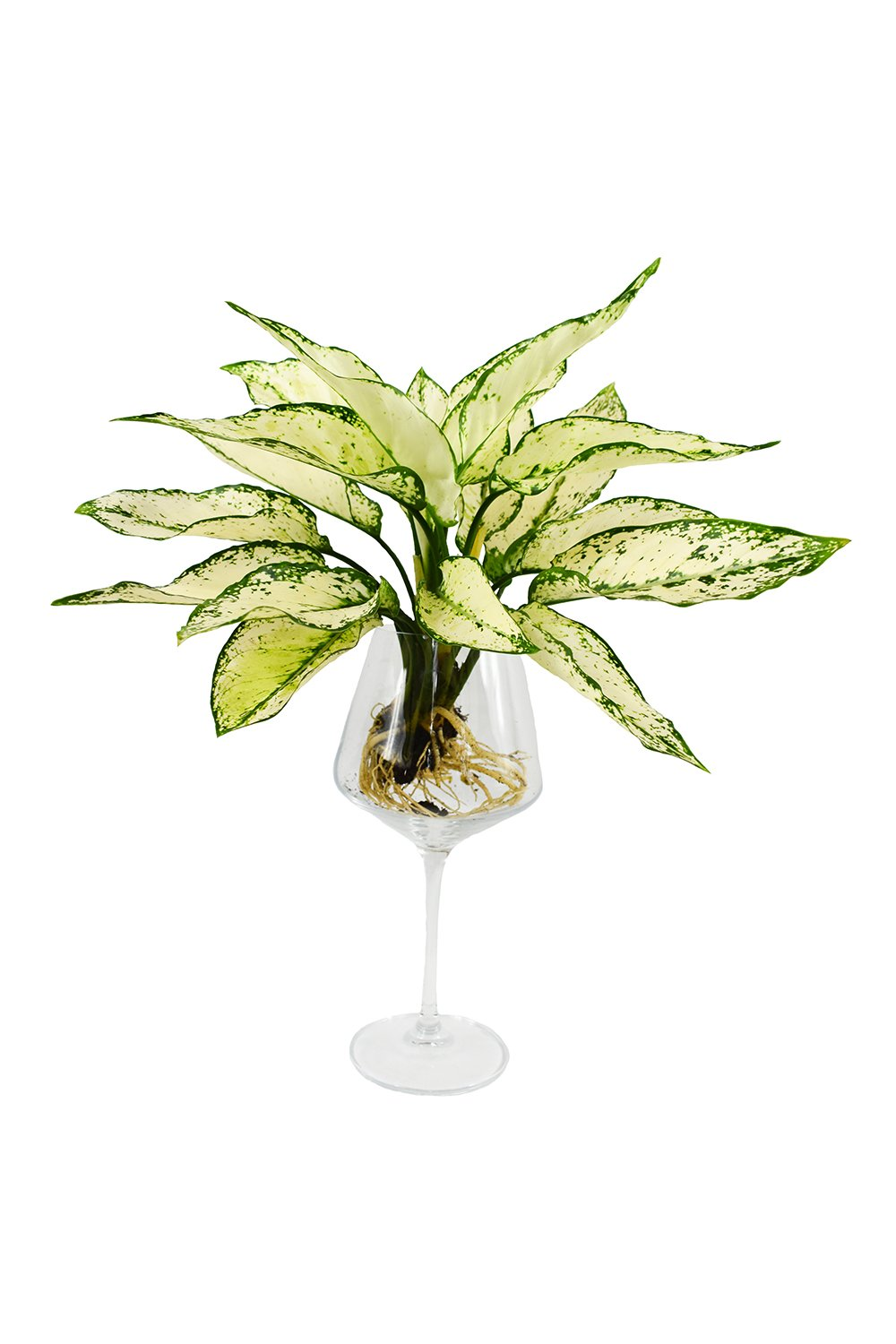 Aglaonema Super White with exposed roots