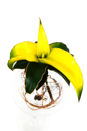 Sansevieria yellow