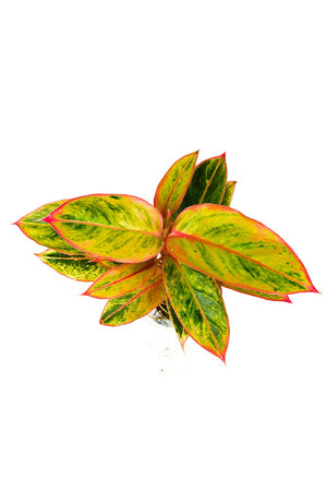 Aglaonema Striptease leaves