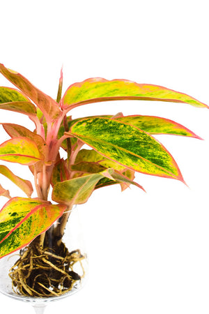 Aglaonema Striptease plant with exposed roots