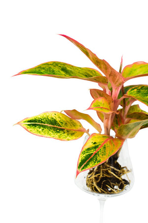 Aglaonema Striptease with exposed roots