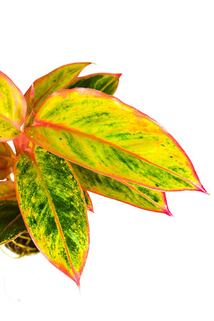 Aglaonema Striptease close up