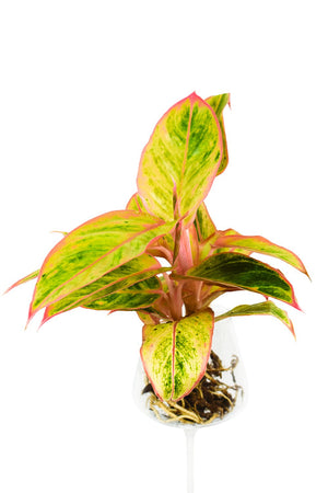 Aglaonema Striptease