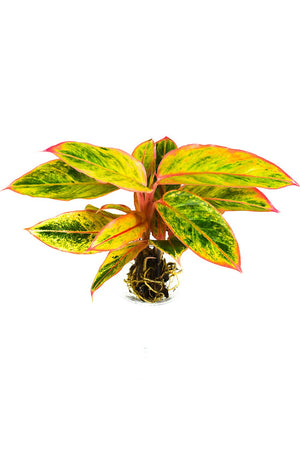 Aglaonema Striptease plant