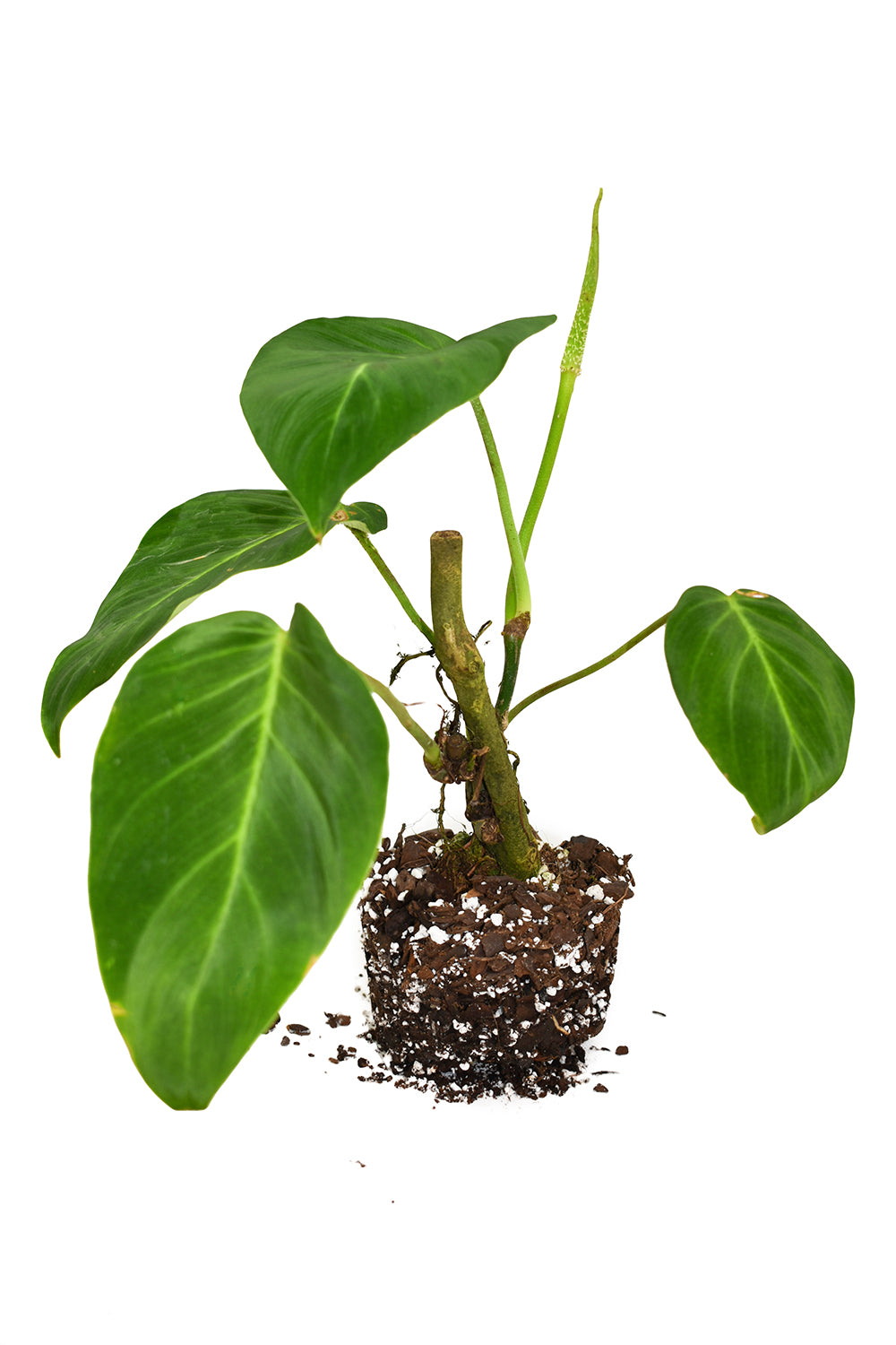 philodendron nanegalense
