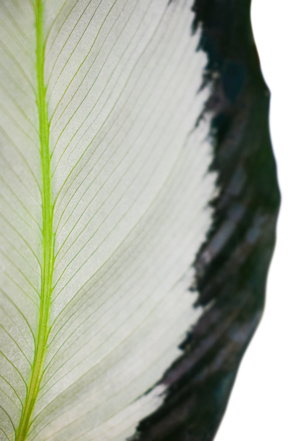 calathea picturata silver leaf close up