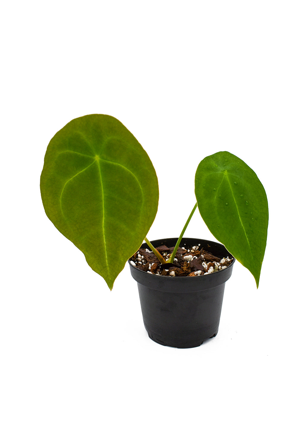 anthurium forgetii rooted cutting
