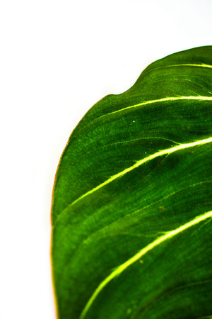 Philodendron Gloriosum leaf close up