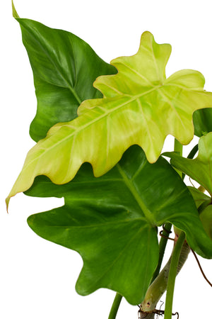 philodendron lacerum leaves
