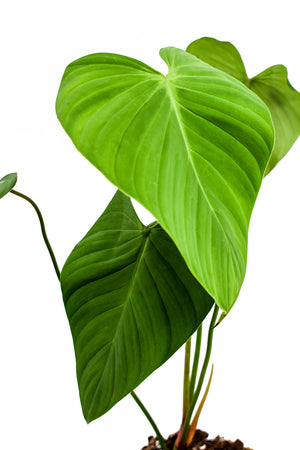 philodendron montanum