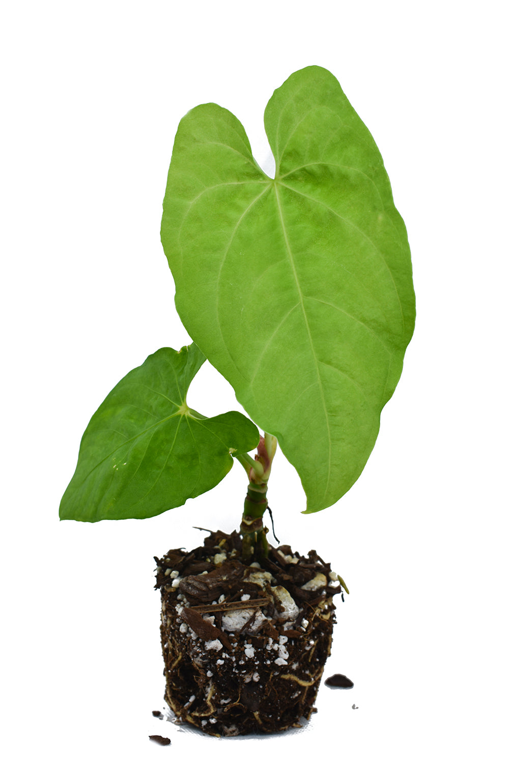 anthurium rotundistigmatum