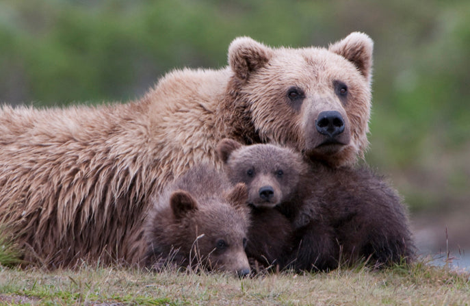 The Grizzly Bears Are Save