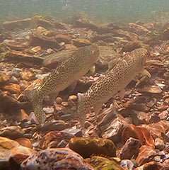 spawning trout ninemile creek restoration montana