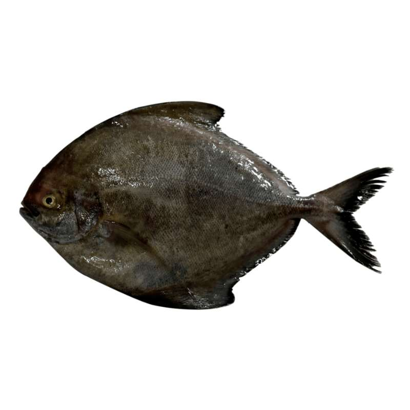 Fresh Black Pomfret (450g- 550g) - Market Boy