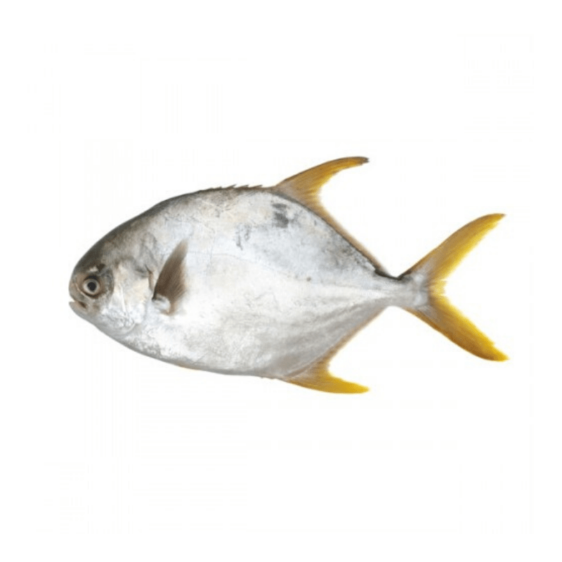 Fresh Silver/Golden Pomfret | 鲜金鲳鱼/鲜银鲳鱼 | (500-650g)