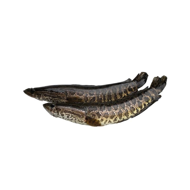 Fresh Snakehead Fish Bones - Market Boy