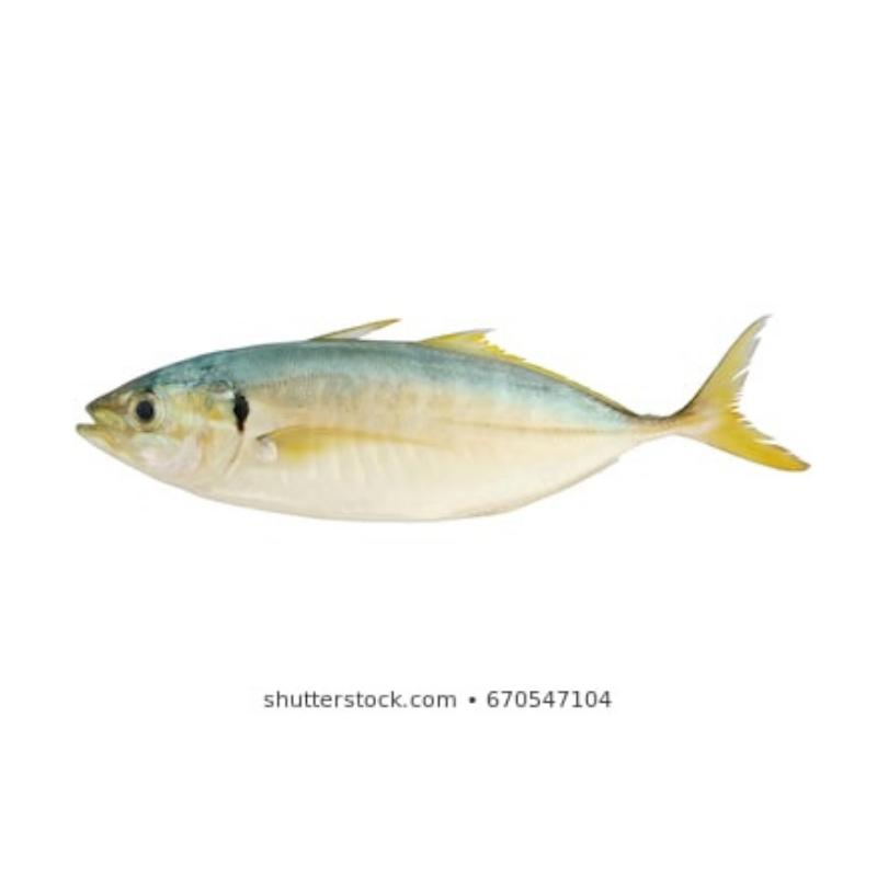Yellow Tail (550g - 700g)
