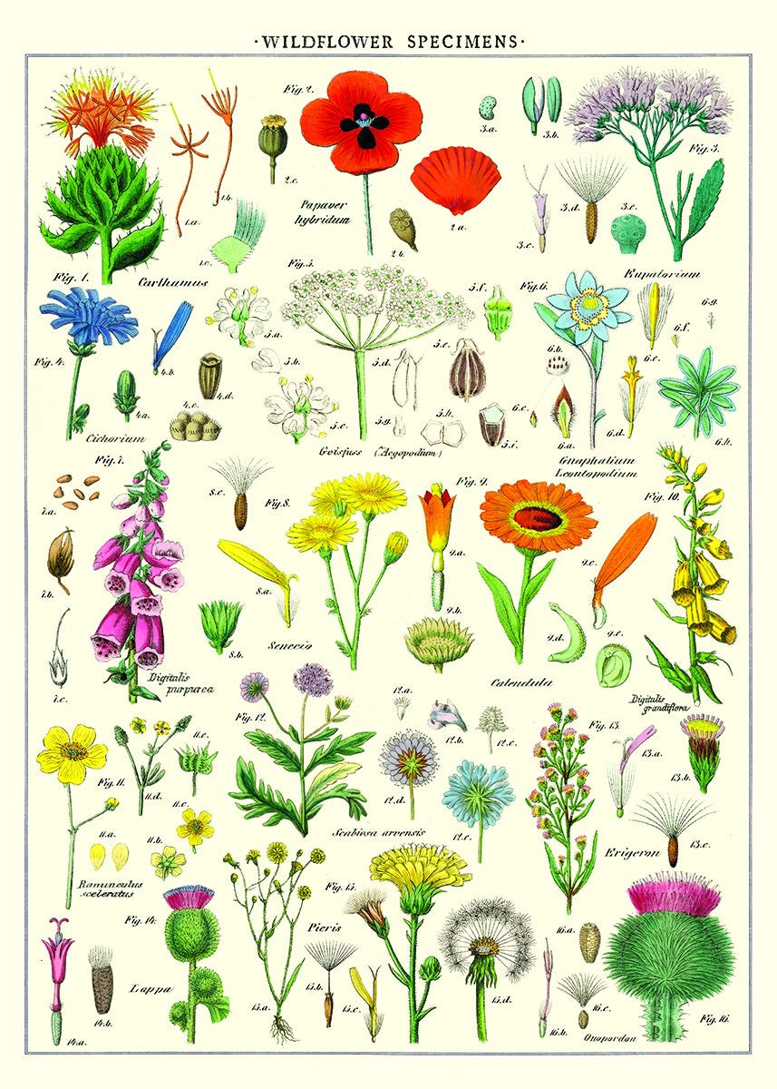 Wildflowers vintage wall chart