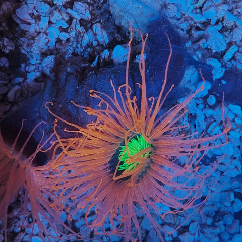 Dragon Eye Tube Anemone