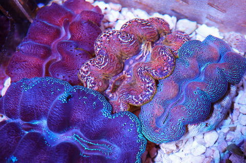 Crocea Clams 2.5-3.5 Inches
