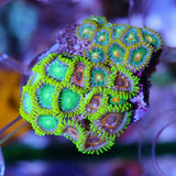 Seattle Assorted Zoa-Frag